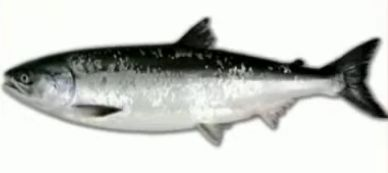 鮭児(けいじ)