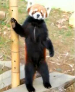 レッサーパンダの風太(ふうた)