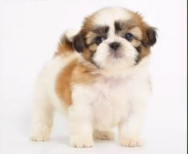 シーズーの子犬