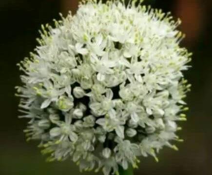 タマネギの花
