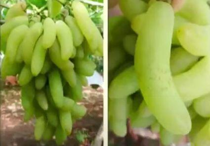 ブドウの品種「バナナ」