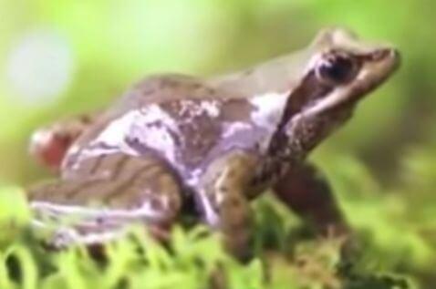 ネバタゴガエル