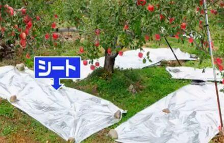 りんごの木の下のシート
