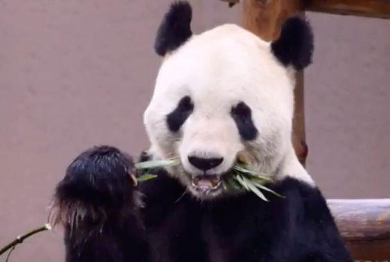 ジャイアントパンダの永明(えいめい)